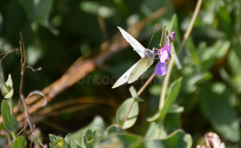 Close up of a white butterfly with black points and opened wings posed peacefully on a purple flower to drink nectar in a sunny. Close up of a white butterfly stock photos