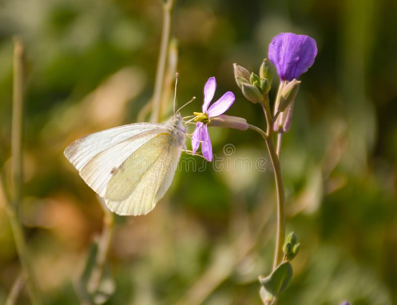 Close up of a white butterfly with black points posed peacefully on a purple flower to drink nectar in a sunny day of spring on a. Herbal background. Horizontal royalty free stock photography