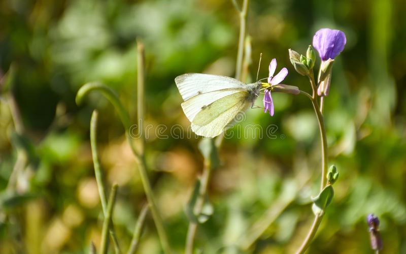 Close up of a white butterfly with black points posed peacefully on a purple flower to drink nectar in a sunny day of spring on a. Herbal background. Horizontal stock photos