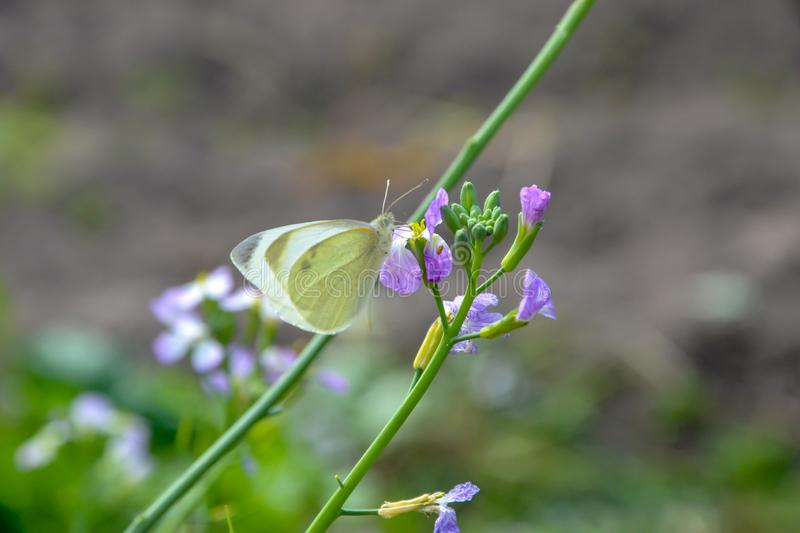 Close up of a white butterfly with black points posed peacefully on a purple flower to drink nectar in a sunny day of spring on a. Herbal background. Horizontal stock images