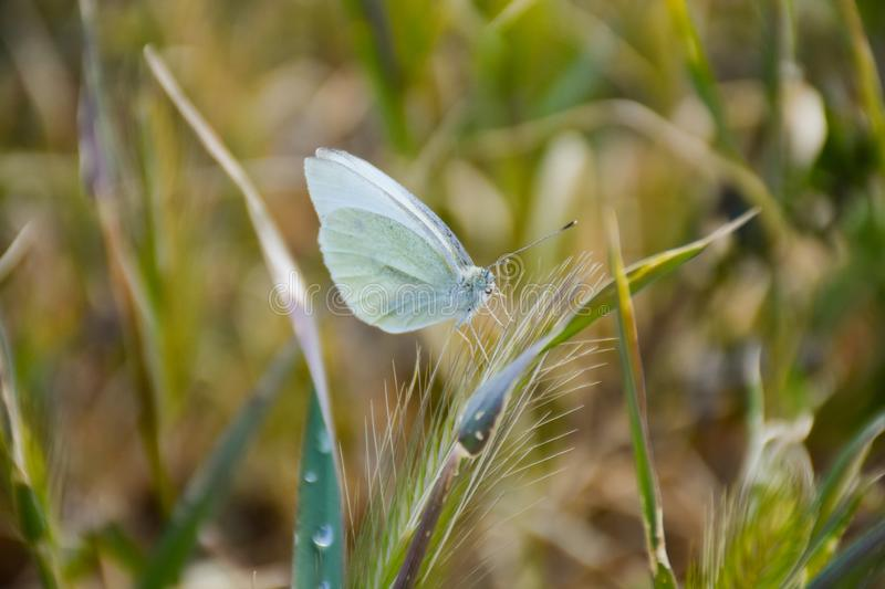 Close up of a white butterfly posed peacefully on a green herb in a sunny day of spring on a herbal background. Horizontal picture. Close up of a white royalty free stock images