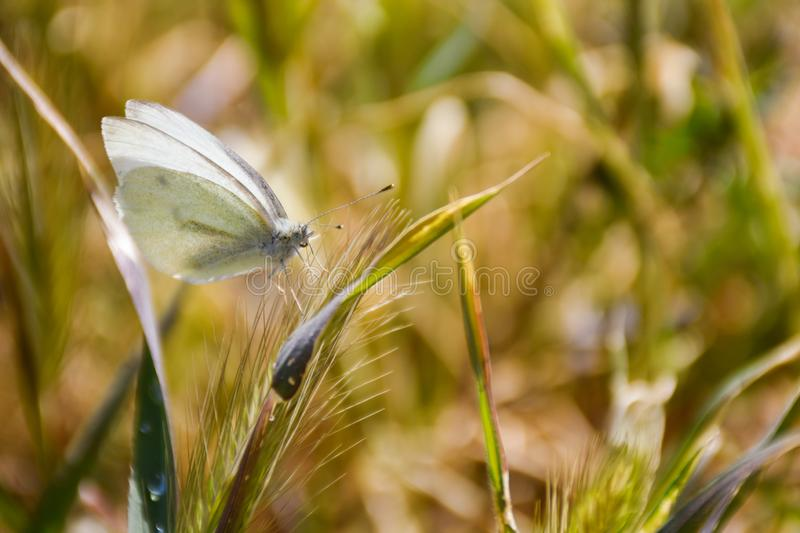 Close up of a white butterfly posed peacefully on a green herb in a sunny day of spring on a herbal background. Horizontal picture. Close up of a white royalty free stock photo
