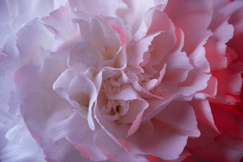 White Carnation Flower With Pink Light Stock Image - Image of ...