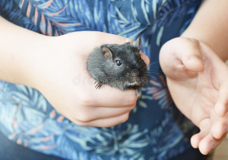 Close-up of a white child holding a cute little black mouse, rat, touching pet care, playing with his pet. Mouse - a stock photography