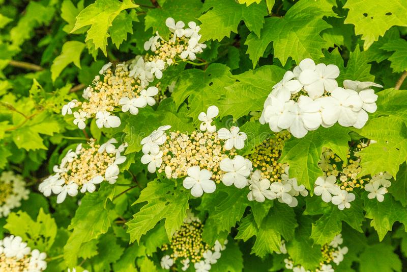 Close-up of white cream colored flower of Guelder rose, Viburnum opulus stock image