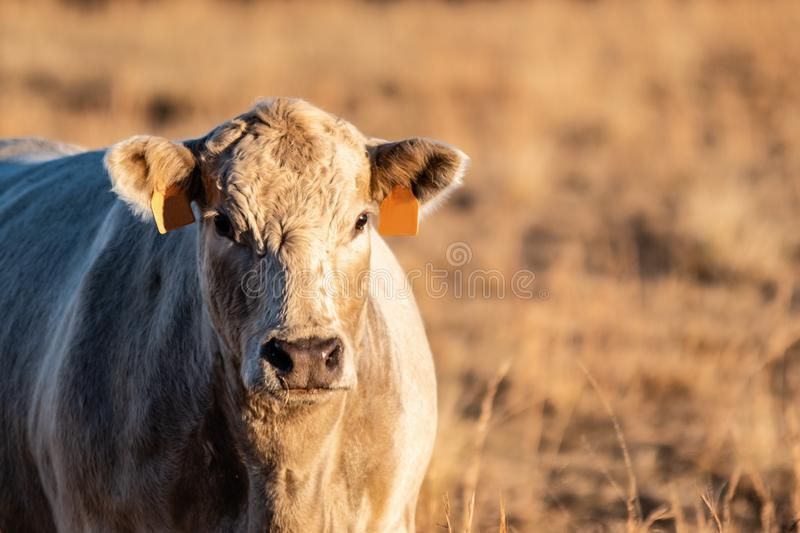 Close up of white crossbred beef cow with copy space to right. Close up of a white crossbred beef cow during golden hour light with golden brown background with stock photo
