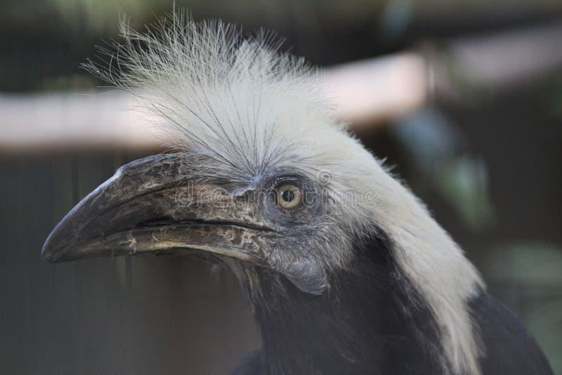 White-crowned hornbill stock photo