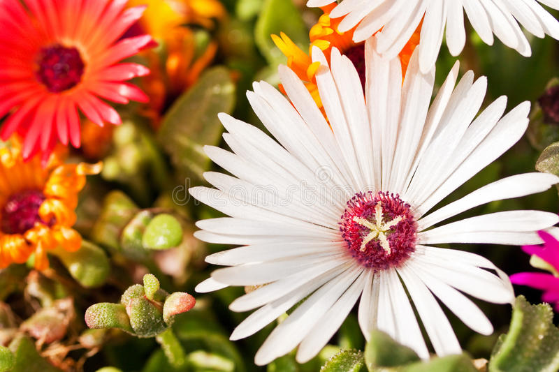 Close-up of a white daisy. Among plants and flowers royalty free stock images