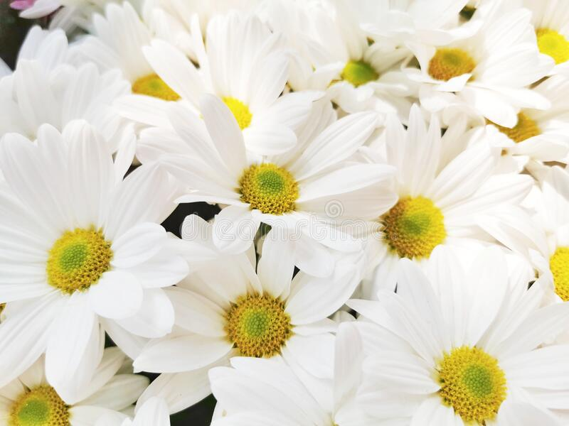 Close-up of white daisy flowers royalty free stock photos