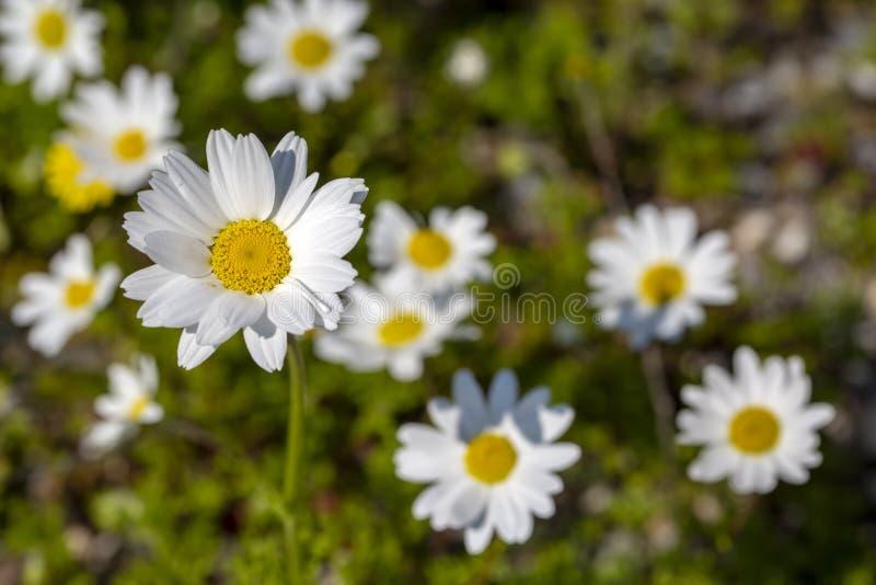 Close up white daisy spring season photo.  royalty free stock photos