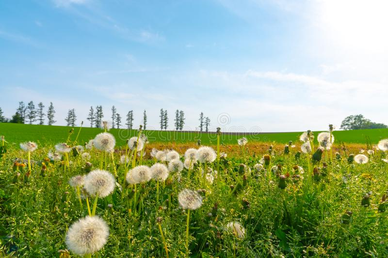 Close-up white dandelion blossoms with spring green grass and row of trees on hill stock images