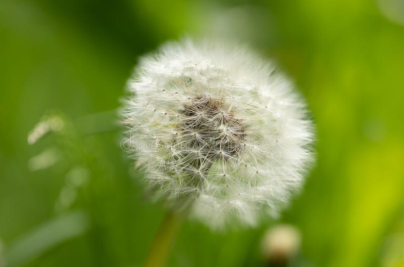 Close-up white dandelion flower on green background. royalty free stock image