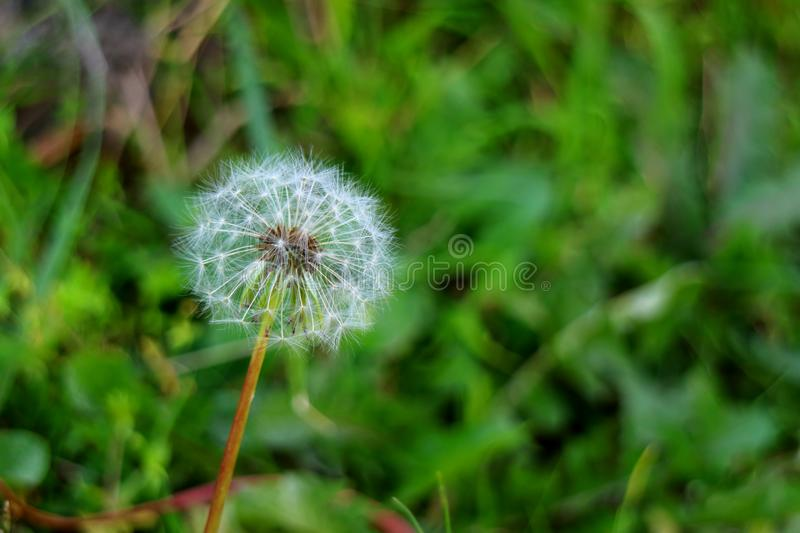 Close up of a white Dandelion flower head with so many tiny florets on blurred green field stock photography
