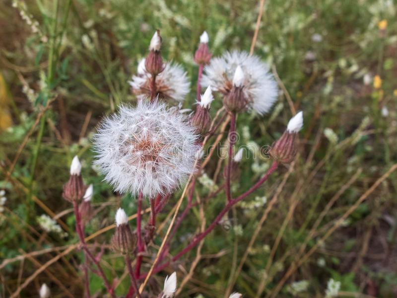 Close-up of white dandelion flowers against blurred floral background royalty free stock image