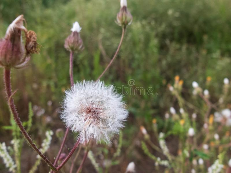 Close-up of white dandelion flowers against blurred floral background royalty free stock photo