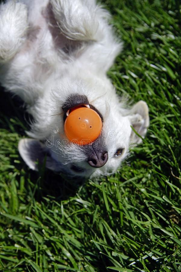 The Stolen Easter Egg. Close up of a white dog with a stolen plastic easter egg in the mouth. Laying on her back on green grass with orange egg held by her teeth royalty free stock photo