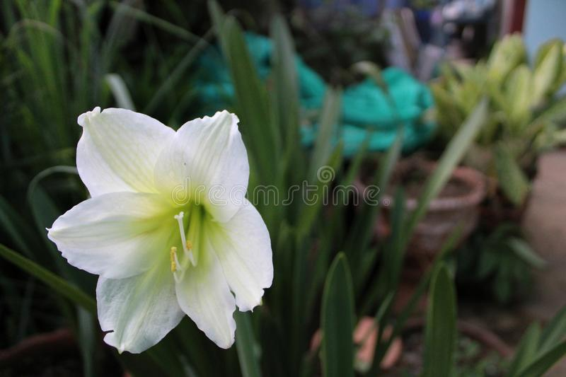 Close up of white flowering plant. Blooming, blossom, flora, nature, garden, green, leaf, environment, season, summer, spa, hawaii stock photo