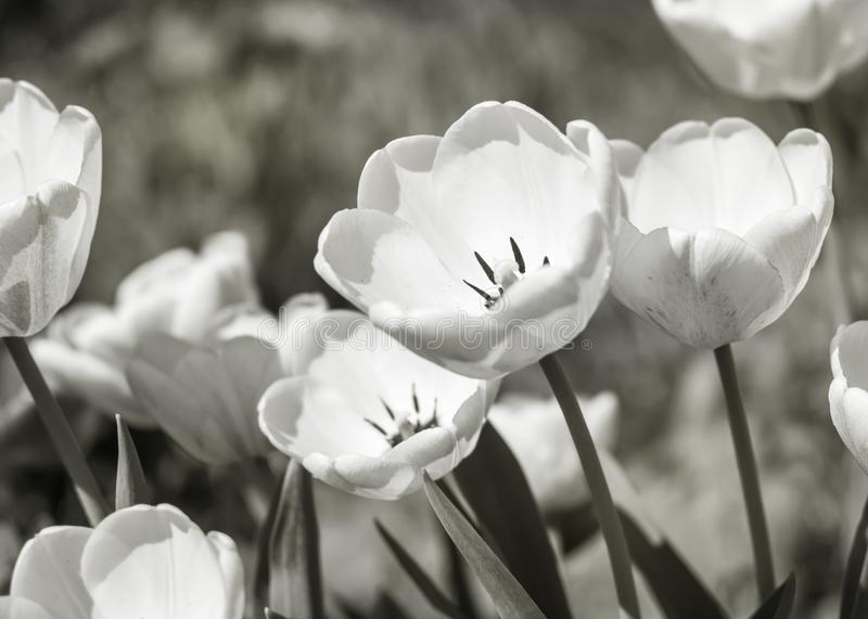 Close-up white flowers tulips in spring garden. Flower bed on a sunny day. Beautiful floral blurred black and white background. stock photography