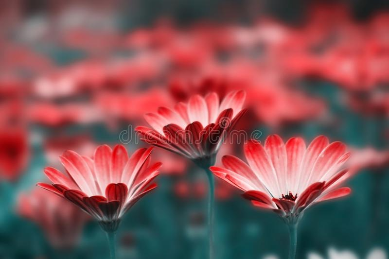 Close-up of a white gerbera flowers on a dark background royalty free stock photos