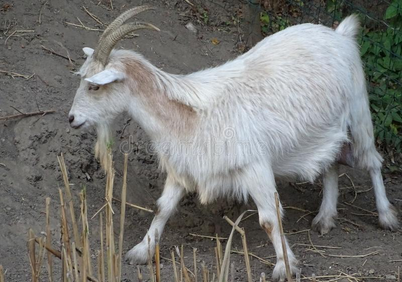 Close up with white goat on the ground stock photo