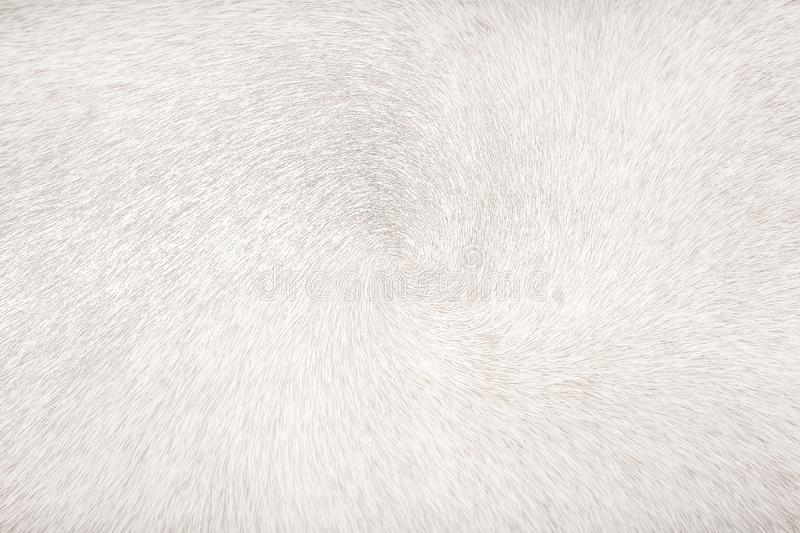White or gray cow fur patterns abstract texture for background stock photography