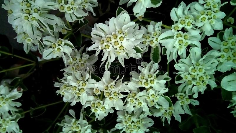Close-up of white with green flowers on a dark background. Delicate white inflorescences with green veins. stock photography