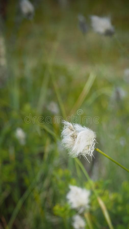 Close up of white hairy flower in finland. Close up of a white hairy flower in finland royalty free stock photos