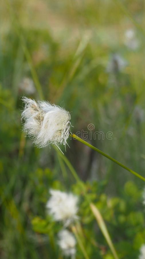 Close up of white hairy flower in finland. Close up of a white hairy flower in finland stock images