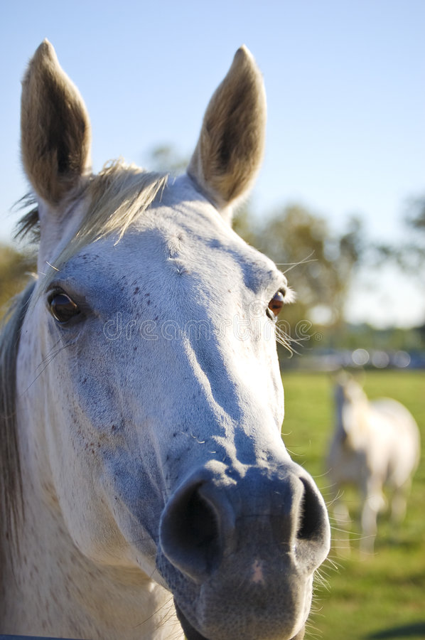 Close up of white Horse. Horses on the farm. A horse enjoying the pasture on a nice sunny afternoon. A close up of the eye and ear of a horse and partial nostril royalty free stock photo