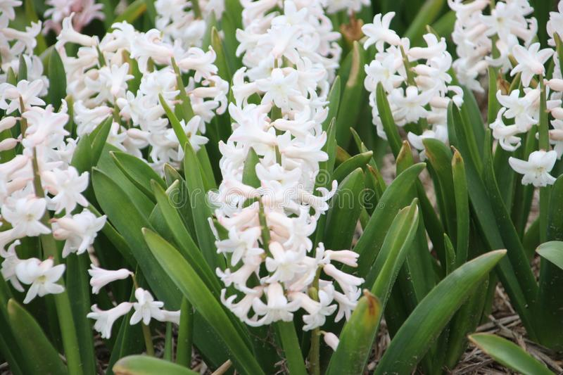 Close up of white hyacint in a field close to the Keukenhof in L stock photo