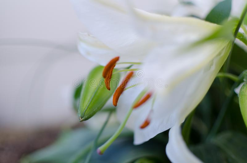 Close-up of a white lily flower parts.  royalty free stock photo