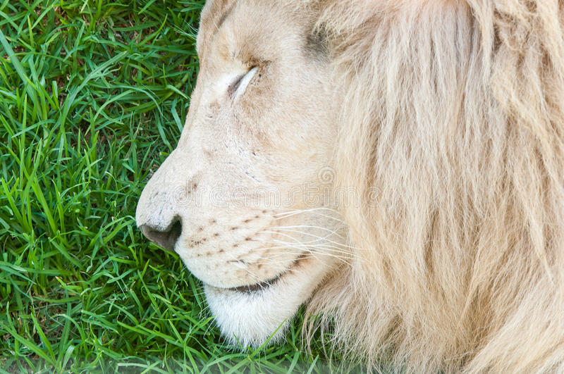 Close-up of white lion sleeping stock images