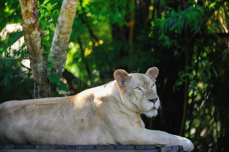 Close up a white lioness looking intensely. With her yellow eyes in this beautiful at Khao Kheow Open Zoo in Thailand stock images