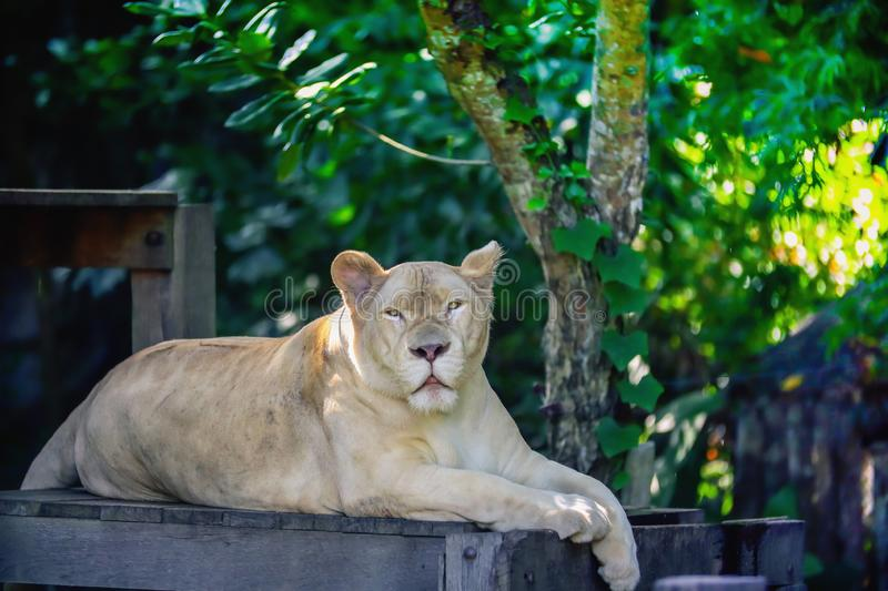 Close up a white lioness looking intensely. With her yellow eyes in this beautiful at Khao Kheow Open Zoo in Thailand stock image