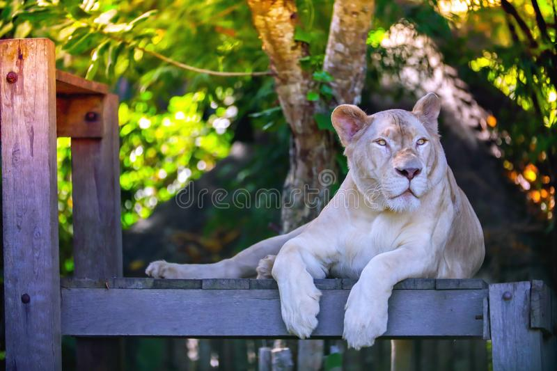 Close up a white lioness looking intensely. With her yellow eyes in this beautiful at Khao Kheow Open Zoo in Thailand royalty free stock image