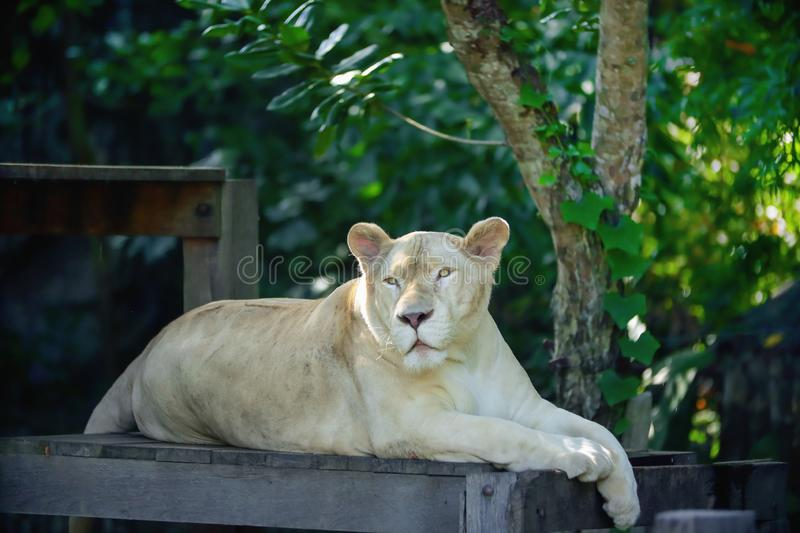 Close up a white lioness looking intensely. With her yellow eyes in this beautiful at Khao Kheow Open Zoo in Thailand stock photos