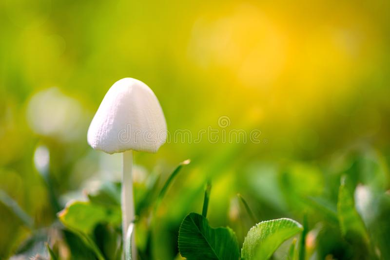 Close up white mushroom with green grass background. Summer nature background. Macro. Soft focus stock photography