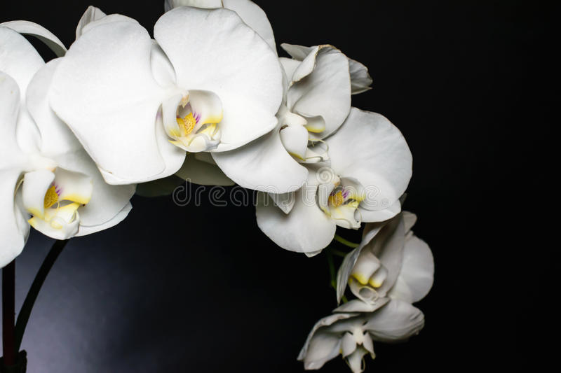 Close up of white orchid spray of blossoms on a highlighted black background with yellow and purple throat. Macro of flower. Beautiful white orchid spray with stock images