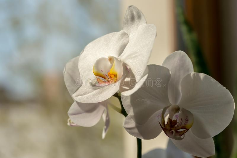 Close-up of white phalaenopsis orchid flower branch. Flower known as the Moth Orchid or Phal on the sunny light. With grey bokeh background. Selective focus stock image