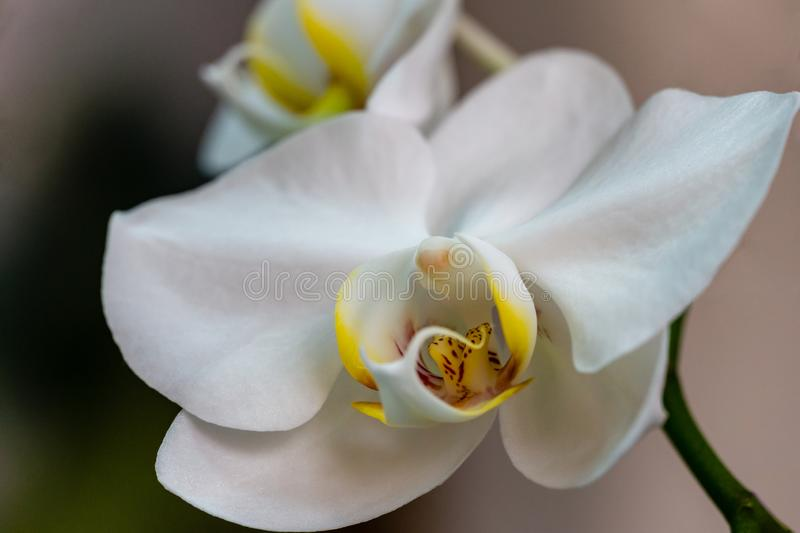 Close-up of white phalaenopsis orchid flower branch. Flower known as the Moth Orchid or Phal on the light grey brown bokeh stock photos