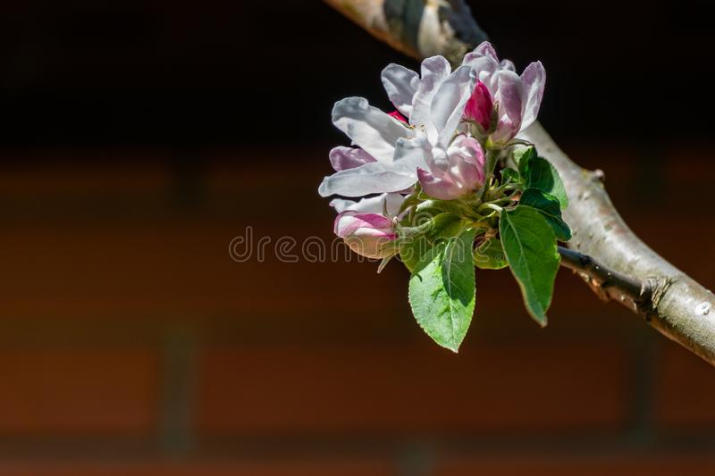 Close-up of white and pink apple tree flowers on blurred brick wall background. Bright sunny spring theme for any design. Selective focus. There is a place for stock photography