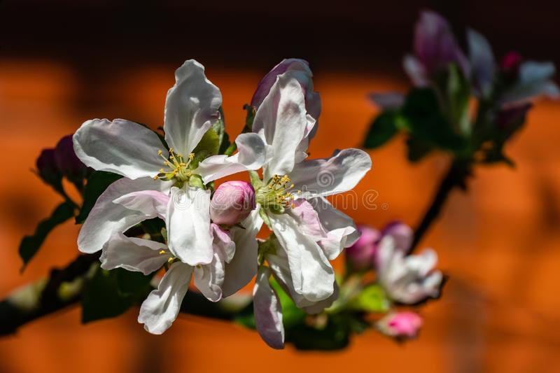 Close-up of white and pink apple tree flowers on blurred brick wall background. Bright sunny spring theme. For any design. Selective focus stock photos