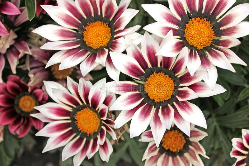 Close up of white, pink and yellow coloured flowers stock image