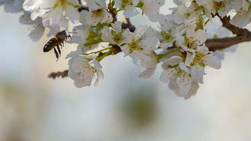 Close-up of white plum flowers and bee flying and collecting pollen. Typical spring background royalty free stock photo