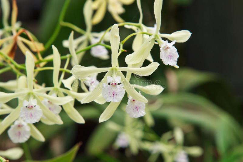 Encyclia Profuse Orchid Up Close royalty free stock image