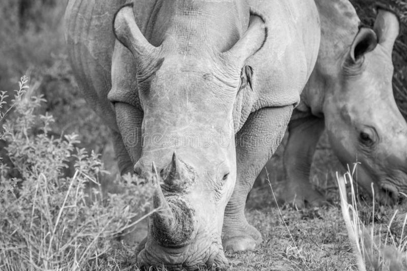 Close up of a White rhino in the grass. In black and white, South Africa royalty free stock photos