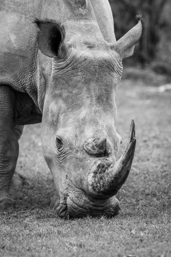Close up of a White rhino in the grass. In black and white, South Africa stock images