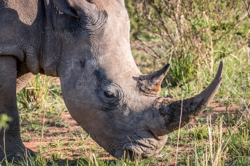 Close up of a White rhino in the grass. South Africa stock photography