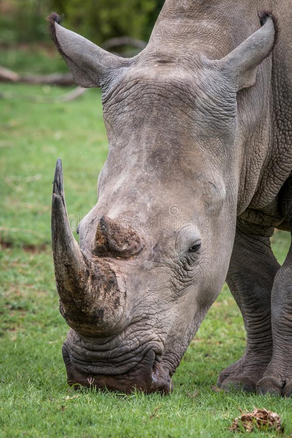 Close up of a White rhino in the grass. South Africa royalty free stock photography