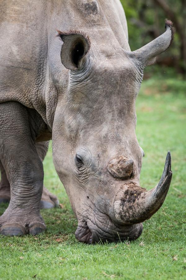 Close up of a White rhino in the grass. South Africa royalty free stock photo